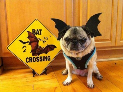 PBF blog bat dog